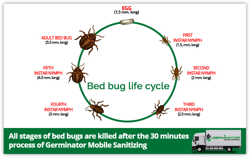 To Go From One Stage To Another, Bed Bugs Must Feed On Blood. Each Time  They Pass Through Each Stage, They Shed, Leaving Bright Exoskeletons Behind.